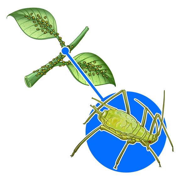 plant louse