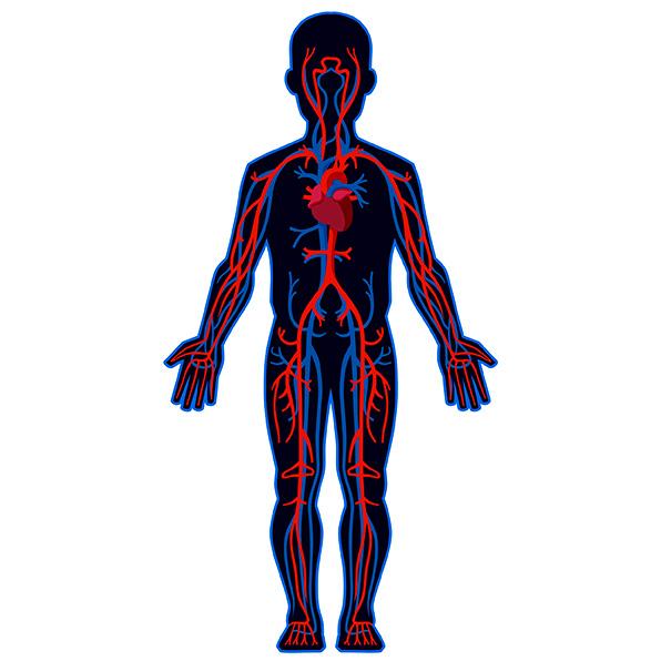 (N) Sistema circulatorio
