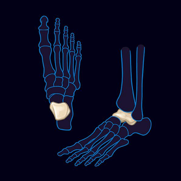 talus bone