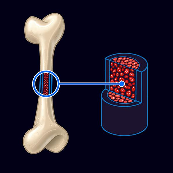 médula ósea