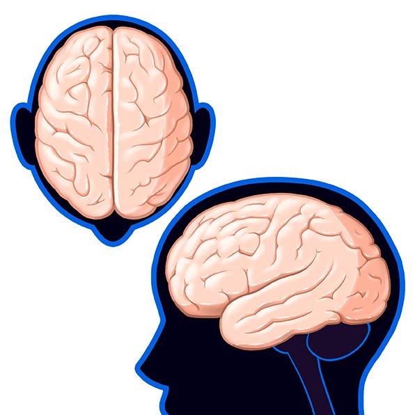 (N) Partes del cerebro