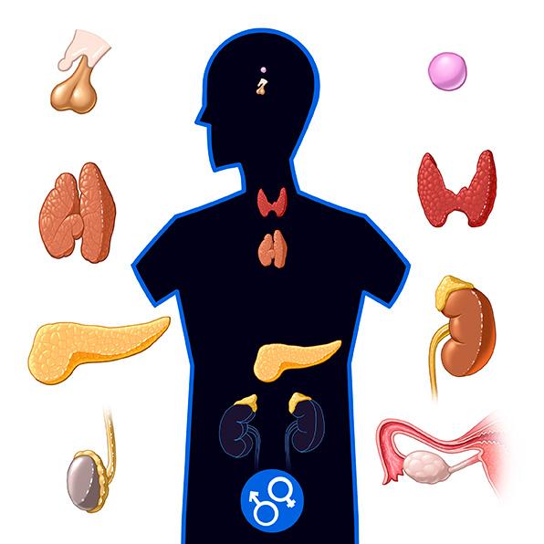 (N) Endocrine System