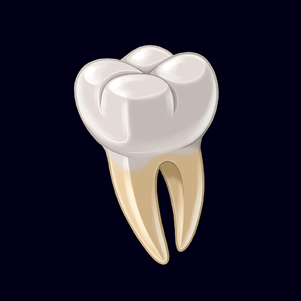 (N) Parts of a Tooth